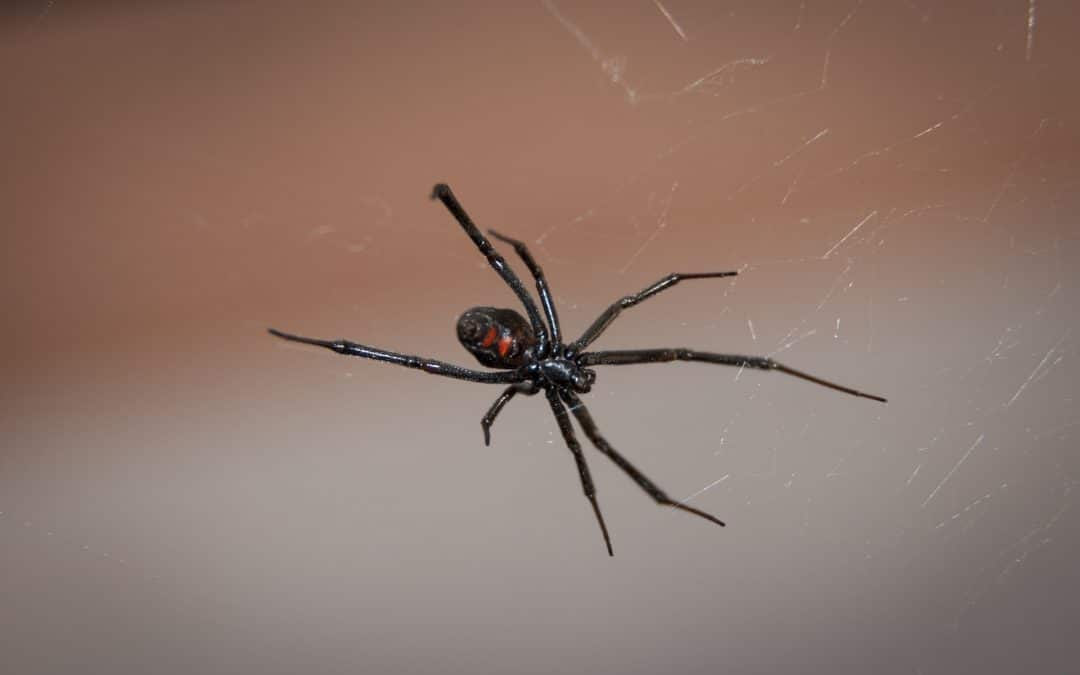 Common Spiders in Suffolk County