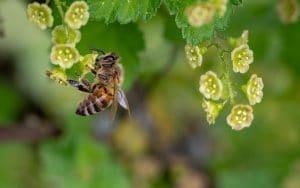 a honeybee near flowers