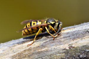 Stinging Insects in Suffolk County