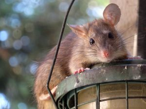 a rat on top of outdoor lamp