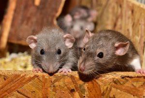Baby Rats, Rat Control
