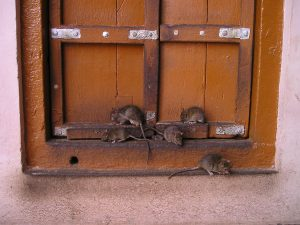 small rats on window