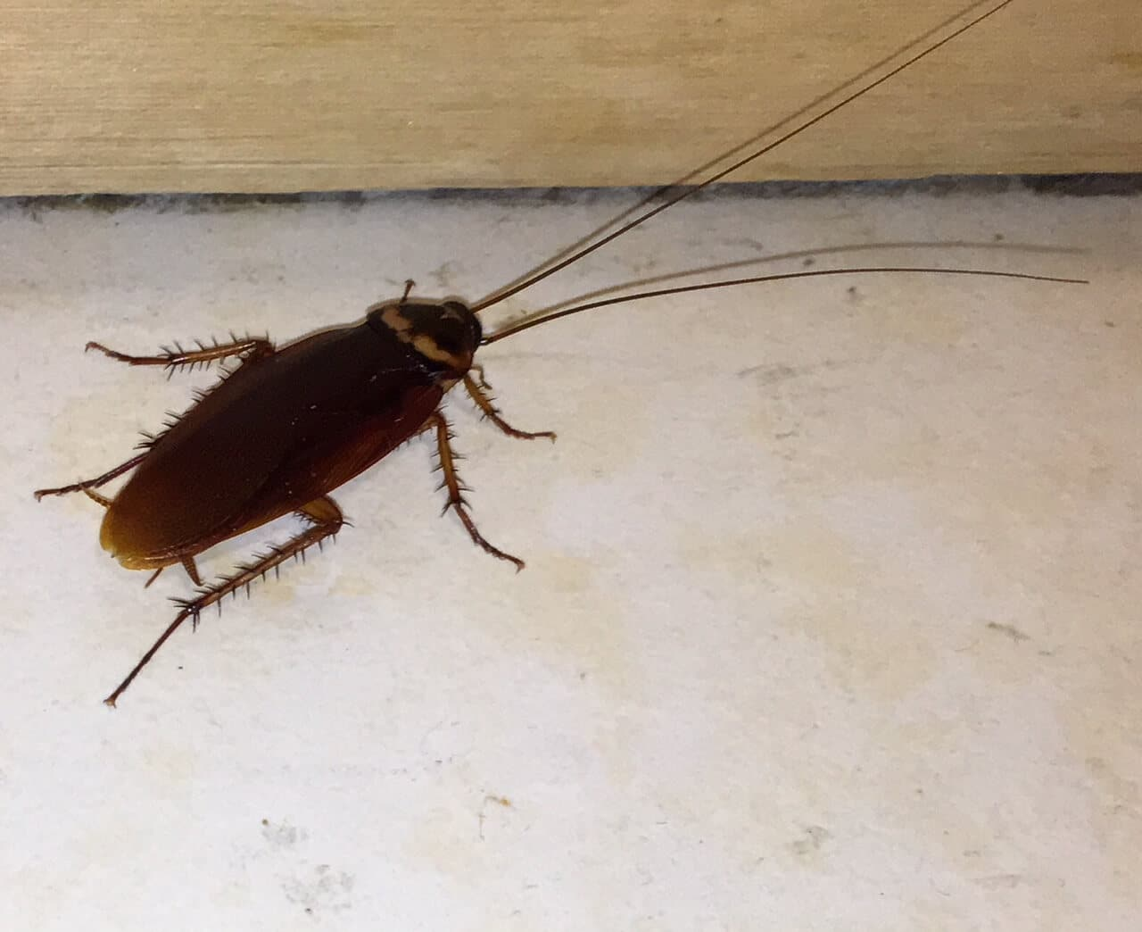 Cockroach Control | Quest Pest Control Suffolk County