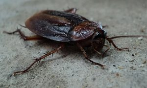 common cockroach on the floor