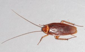 American Cockroach on floor