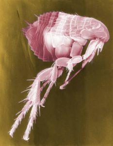 Flea close-up, tick and flea control