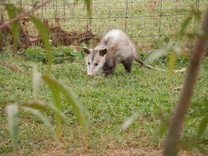 Possum in garden